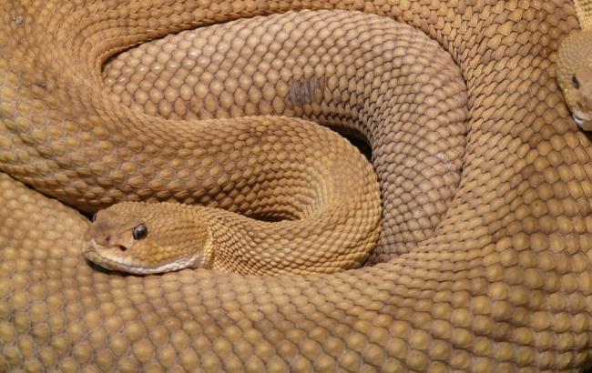 Нашестя змій на Буковині: госпіталізовані дві людини