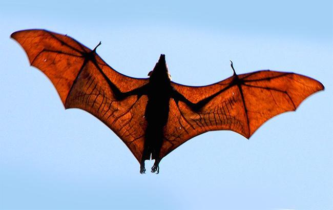 Фото: найсерйознішу потенційну загрозу представляють кажани (ecohealthalliance.org)
