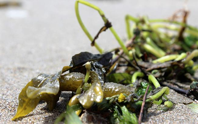 Фото: море возле Евпатории полно водорослей (pixabay.com)
