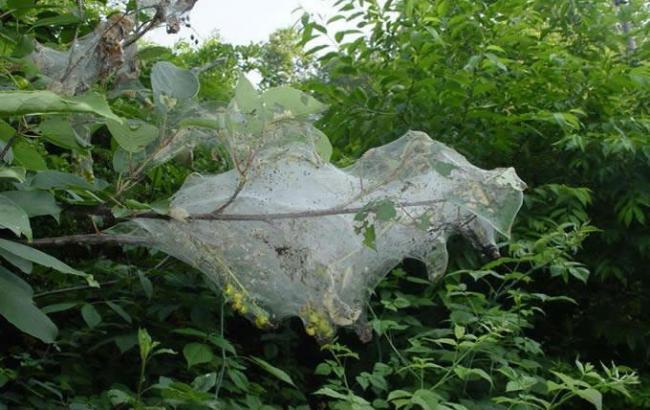 Фото: нашествие американской белой бабочки