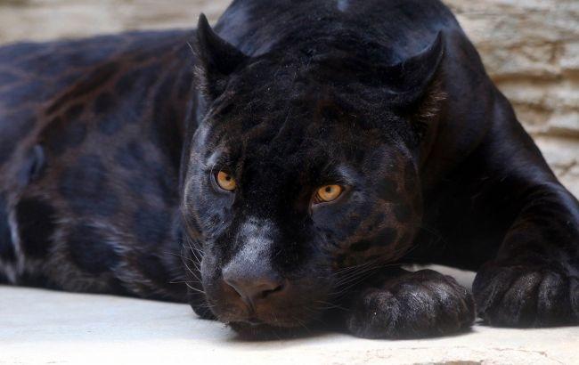 Нападение пантеры на мужчину под Полтавой: полиция открыла производство