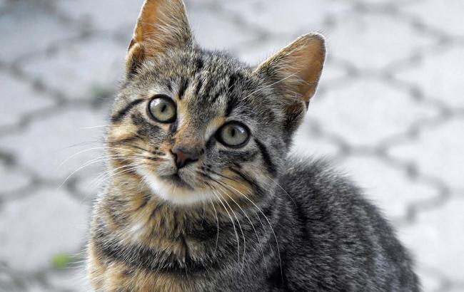 Фото: Вилов котів в Києві заборонений (pixabay.com/NanaCola)