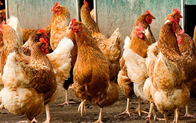 Фото: Украина ограничила ввоз птицы из Австрии и Германии
