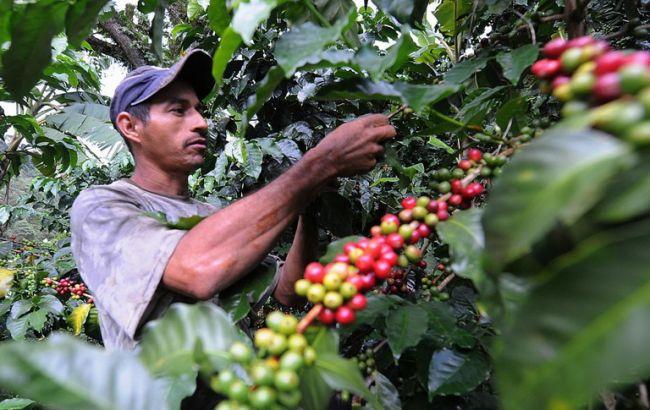 Фото: збір врожаю кави в Колумбії