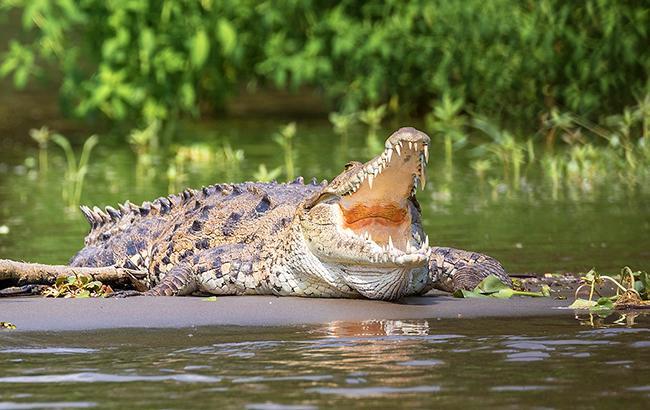 Крокодил уволок вджунгли репортера, который безуспешно сходил втуалет