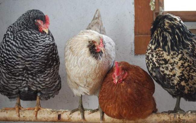 Фото: ограничения действовали в связи с регистрацией случаев высокопатогенного куриного гриппа (consumer.gov.ua)