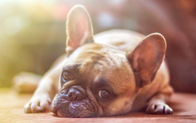 коронавирус собаки
