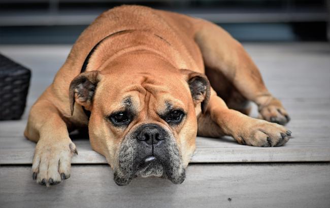 Фото: Собака (pixabay.com/Pitsch)