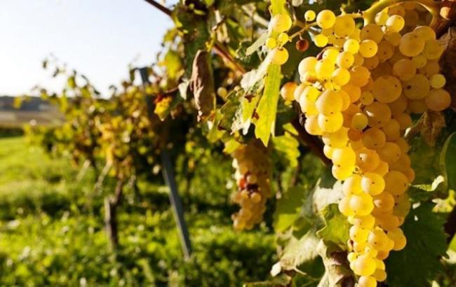 Фото: виноградники (twitter.com/mtot_gov_ua)