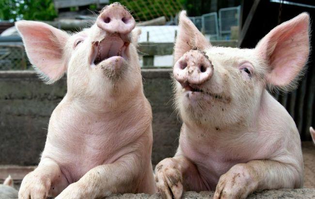 Фото: погибли две свиньи