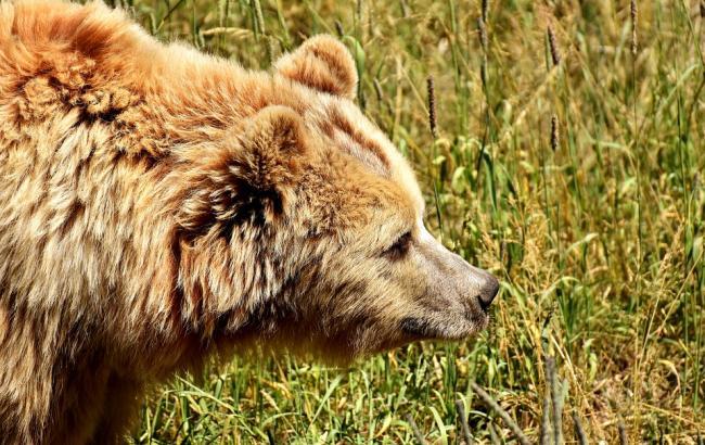 Фото: Ведмідь (pixabay.com/ru/users/Alexas_Fotos)