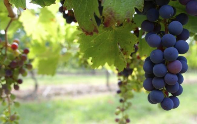 Фото: Виноградники (pixabay.com/ru/users/Pexels)
