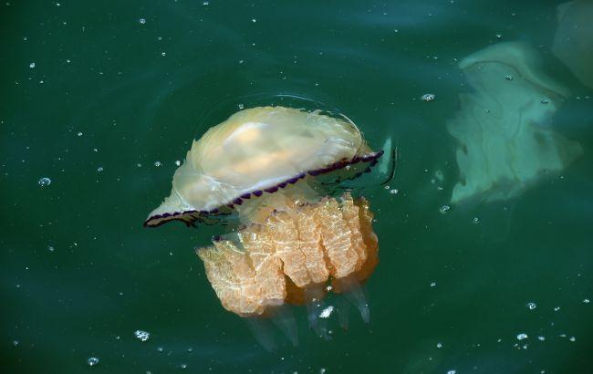 Дуже небезпечна морська тварина: що потрібно знати про медуз кожному