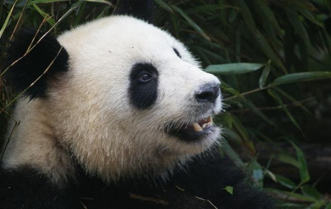 В сети появилось забавное видео панды, которая катается на лошадке