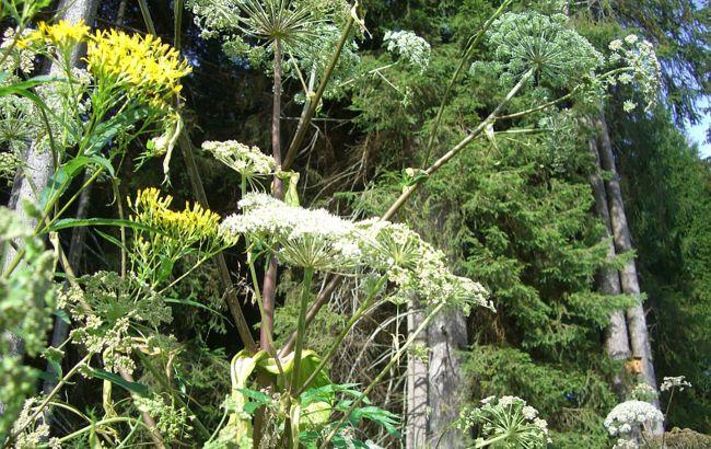 В Украине цветет ядовитое смертоносное растение: как оно выглядит и как уберечься