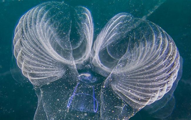 Фото: Bathochordaeus charon (sciencealert.com)