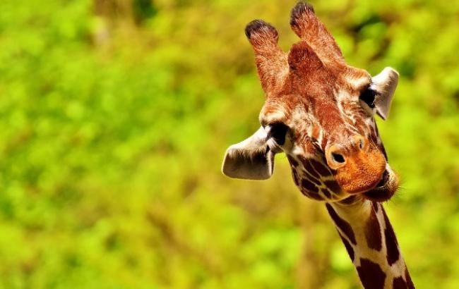 В киевском зоопарке показали фото маленького жирафа