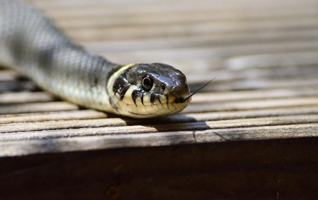 Фото: Змея (pixabay.com/Huskyherz)