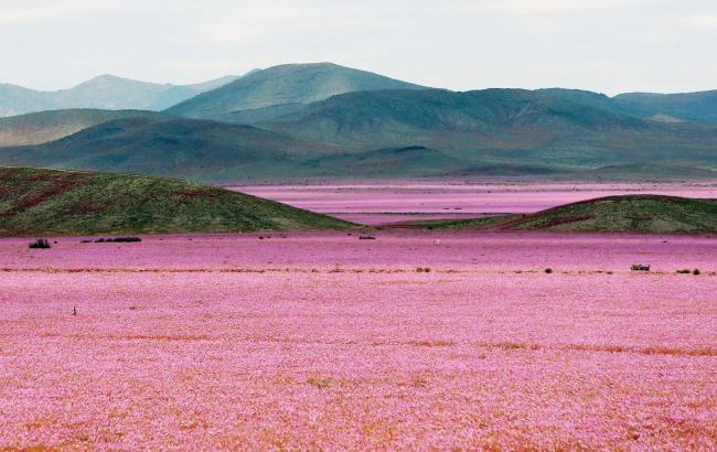 Найбільш посушлива пустеля на Землі вкрилася квітами