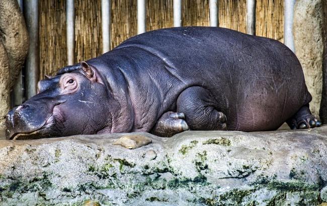 В Киевском зоопарке показали завтрак бегемотихи (видео)