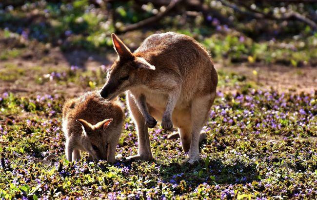 """В Бердянске спасли крошечного кенгуренка, маму которого убило грозой: это видео """"трогает"""" до слез"""