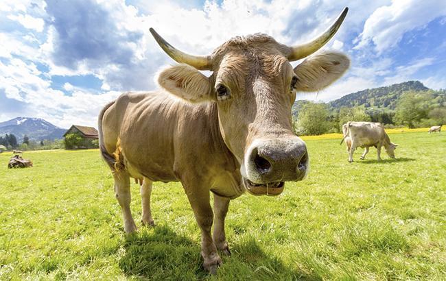 Фото: поголовье скота немного сократилось (Pixabey)