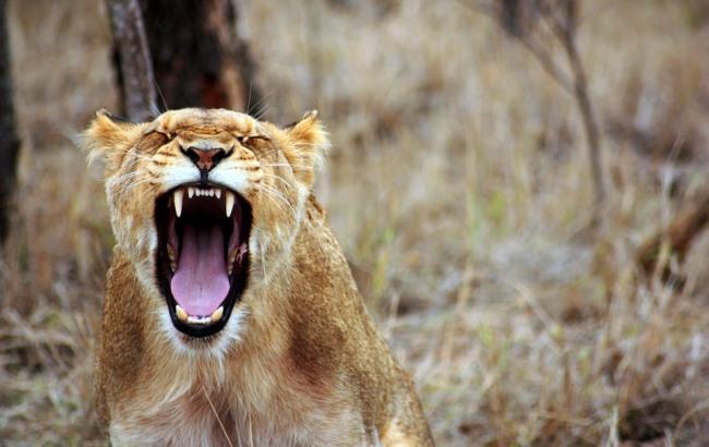 Приручил и поселил дома: львица растерзала своего хозяина (фото 18+)