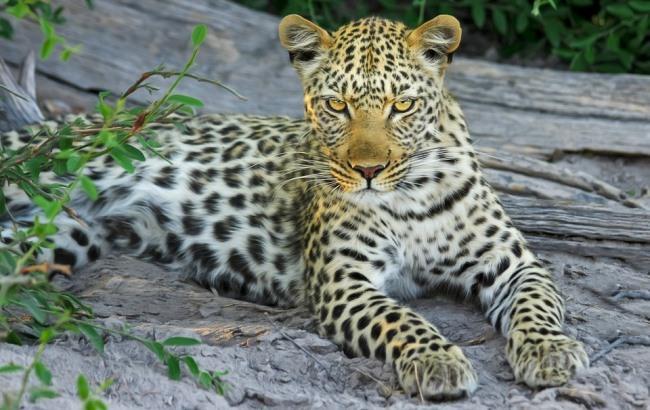 Фото: Леопард (pixabay.com/designerpoint)