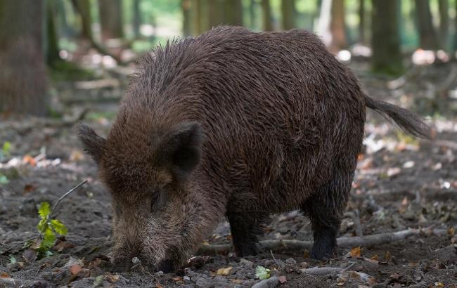 На Волыни браконьеры убили беременную самку кабана