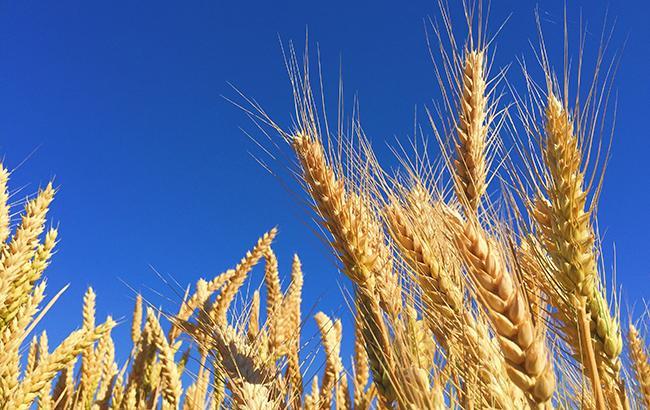 В Україні за поточний рік зібрано понад 56 млн тонн зернових