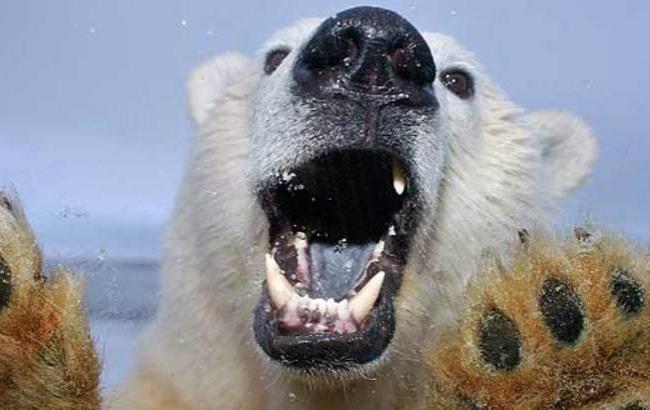 Фото: Белый медведь