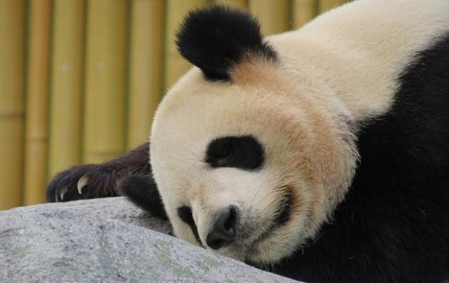 УКитаї померла найстаріша усвіті панда
