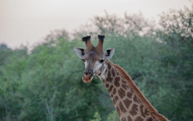 Выпущенный на волю жираф на радостях упал (видео)