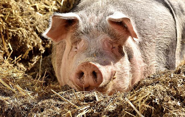 Фото: свинья (pixabay.com)