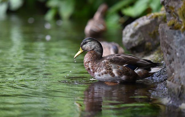 В Луцке мужчина забросал уток в парке камнями: одна птица погибла