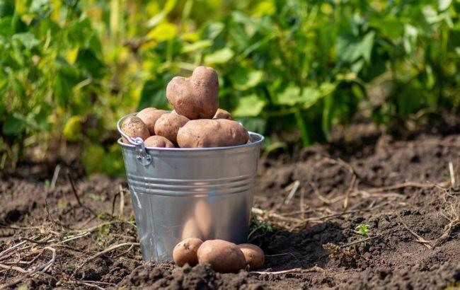 Коли потрібно копати картоплю в серпні: рада для всіх українців