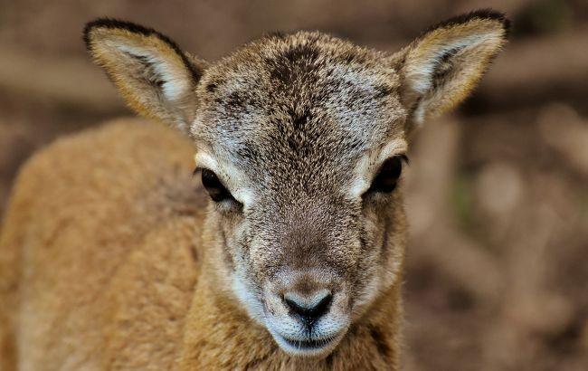 В парке природы под Черниговом посетители довели до смерти новорожденного муфлончика