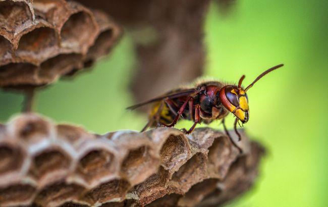 На Буковине после укусов шершней умерла женщина: что делать при нападении насекомых
