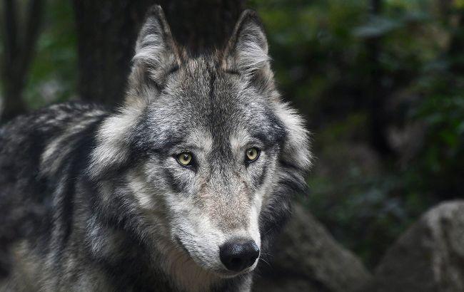 На Прикарпатье курортный поселок атакуют волки (видео)