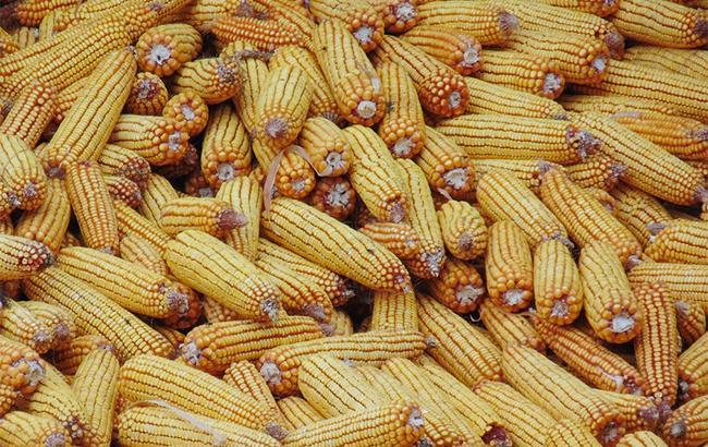 Фото: кукуруза (Pixabey)
