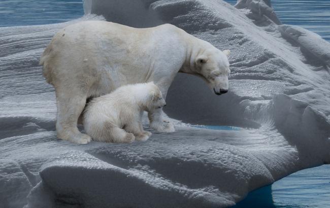 Фото: Белые медведи (pixabay.com/ru/users/Gellinger)
