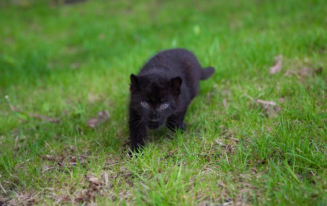 Фото: Маленькая пантера (feldman-ecopark.com)
