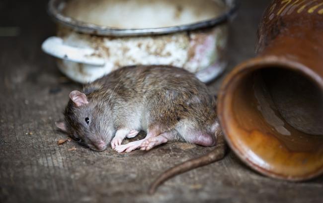 Фото: Мер з'їв щура, програвши спір (pixabay.com/Bergadder)