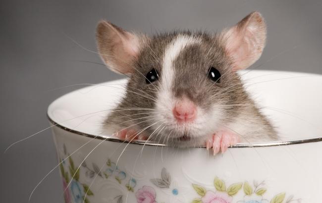 Фото: Крысе в 2016 году следует стать немного менее деловитым