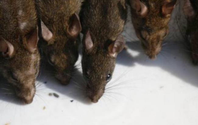 Фото: Крысы в Севастополе (Sevas)