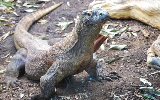 Фото: Комодский дракон (pixabay.com/TLSPAMG)