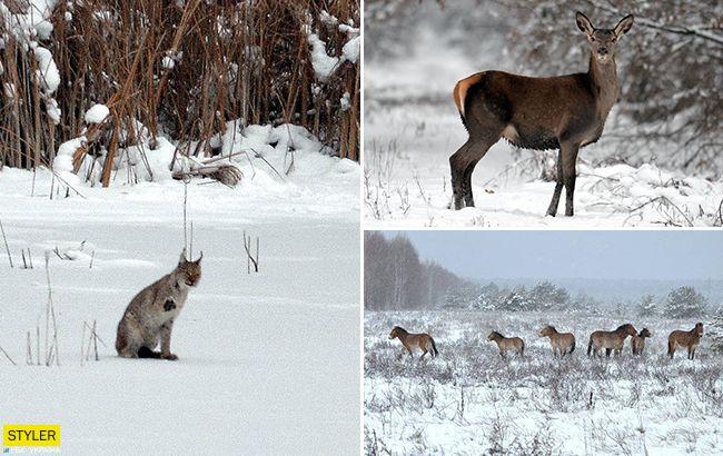 """""""Рысь помахала лапкой"""": животные в Чернобыле чувствуют себя хорошо без людей (фотоотчет)"""