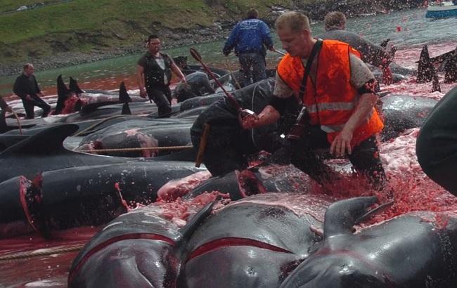 Загнали и резали ножами: на Фаррерах произошел массовый забой дельфинов