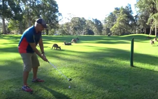 Нахабні кенгуру зірвали гольфістам матч в Австралії