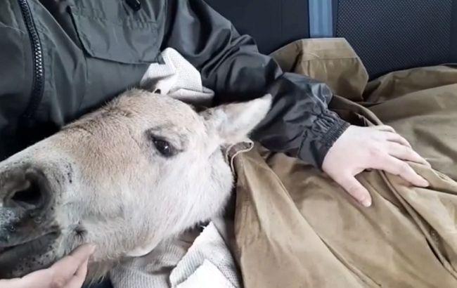 Блукав з опіками на згарищі: у Чорнобилі врятували лоша Пржевальського (відео)
